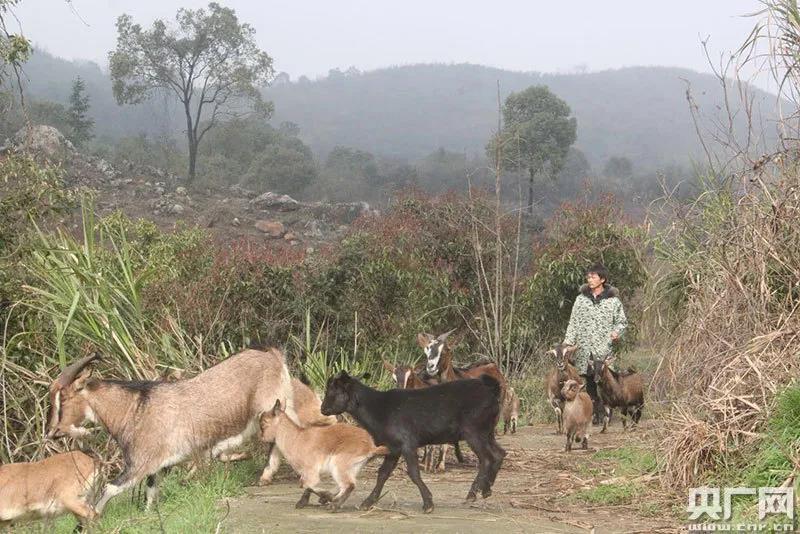 江西安源:村里帮建新羊圈、霉羊勇哥喜洋洋